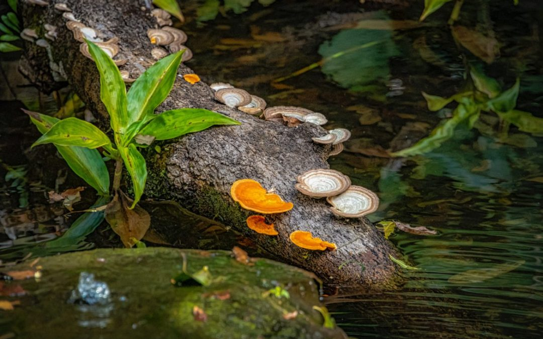 Exploring Medicinal Mushrooms: Part 1 – Coriolus Versicolor